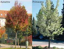 Alberi da giardino a crescita rapida scegliere gli alberi da giardino gli alberi da siepe siepi - Alberi da giardino consigli ...